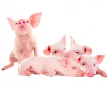 Piglets against a white background